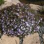 Phlox subulata Emerald Cushion Blue recovered well after last year severe cut back (Phlox subulata (Moss Phlox))