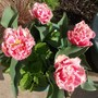 Tulipa Double Crispa Queensland work well in a tub (Tulip &#x27;Double Crispa Queensland&#x27;)