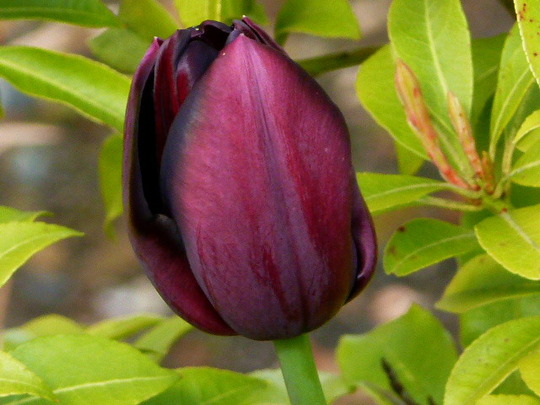 Tulip    '  Queen of Night  '