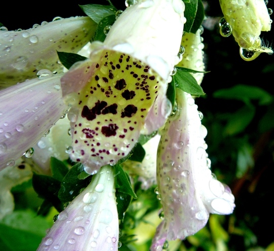 Digitalis (Digitalis purpurea (Common foxglove))