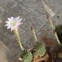 Echinopsis_
