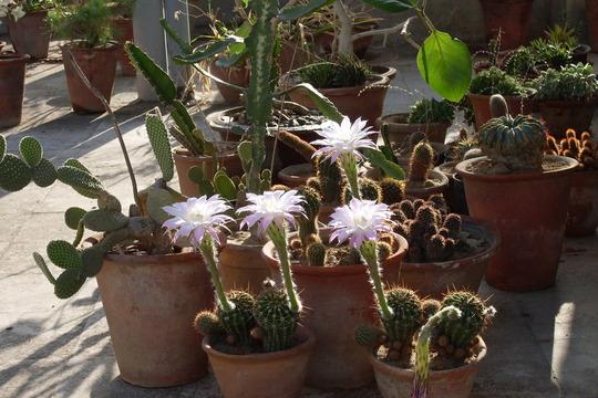 echinopsis .