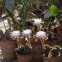 Echinopsis_.