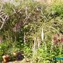 Buddleia   alternifolia (alternifolia)