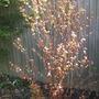 Cercidiphyllum japonicum (Katsura Tree) for my records (Cercidiphyllum japonicum katsura tree)