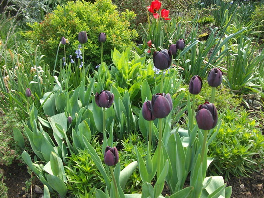 Tulipa 'Queen of the Night'
