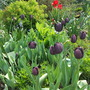 Tulipa_queen_of_the_night