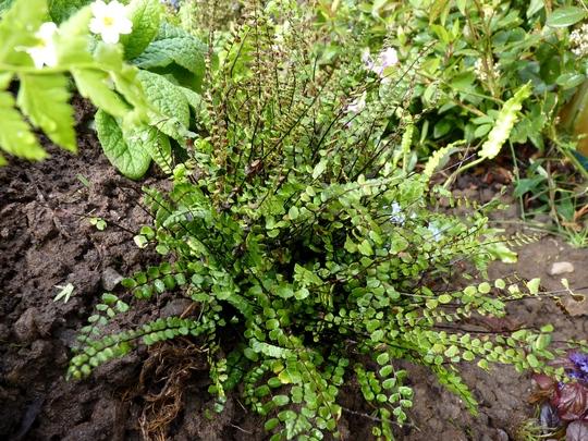 Asplenium trichomanes   (Asplenium trichomanes - maidenhair spleenwort)