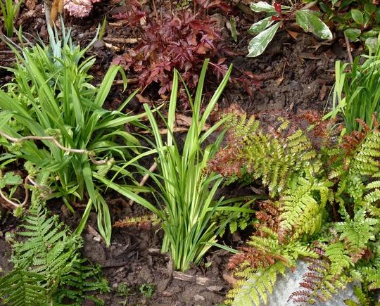 Carex pendula (Carex pendula)