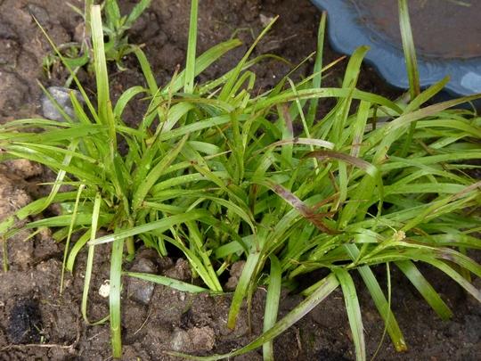 Luzula nivea - snowy woodrush (Luzula nivea)