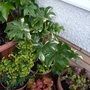 Fatsia_variegata