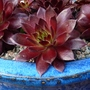 Red House Leek in Blue pot (Sempervivum tectorum (Common Houseleek))