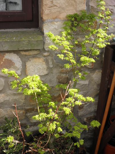 Shishi coming out nicely (Acer palmatum (Japanese maple))