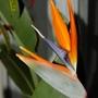 Strelitzia reginae (Bird of paradise) (Strelitzia reginae (Bird of paradise))