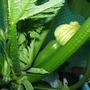Courgette  (Cucurbita pepo (Courgette))
