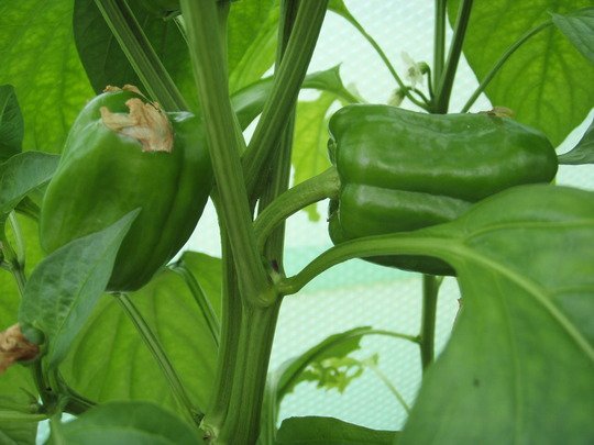 Pepper  (Capsicum annuum (Sweet pepper))