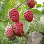 Raspberry  (Rubus idaeus (Summer fruiting raspberry))