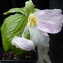 Pink_trillium_p1020963_edited