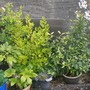 Griselinia and Laurus Nobilis