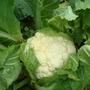 cauliflowers fluffy and.........