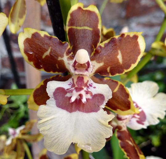 Cambria Spider Orchid