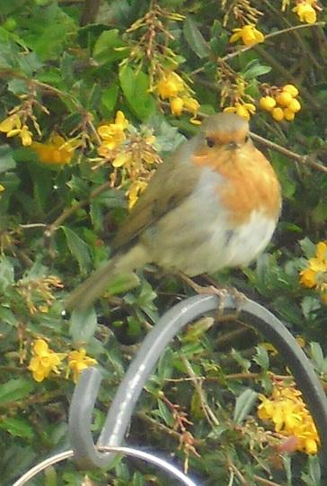 Chubby Robin !