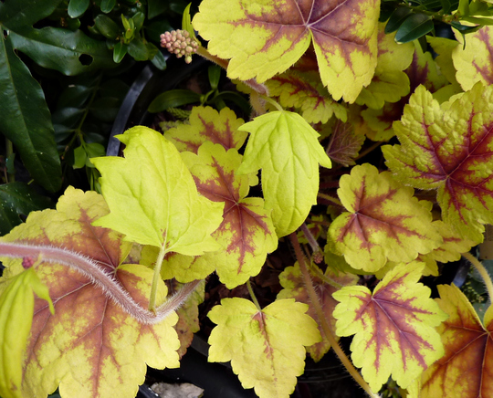 "Heuchera ""Stoplight"""
