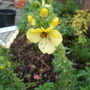 Buttercup (Verbascum)