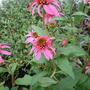 Mistral (Echinacea)