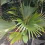Pritchardia remota - Nihoa Fan Palm, or Louʻlu Palm (Pritchardia remota - Nihoa Fan Palm, or Louʻlu Palm)
