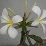 Plumeria obtusa 'Singapore'  - Singapore Plumeria Flowers (Plumeria obtusa 'Singapore'  - Singapore Plumeria)