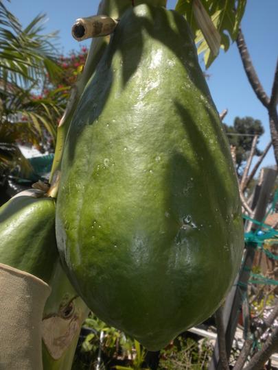 Carica papaya 'Thai Dwarf' - Thai Dwarf Papaya (Carica papaya 'Thai Dwarf' - Thai Dwarf Papaya)