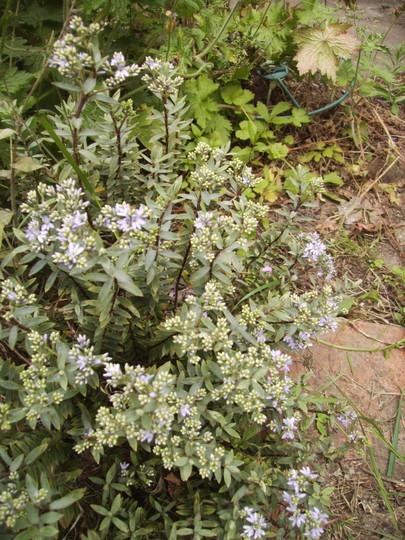 Hebe Pinguifolia in Flower 06.08 (Hebe pinguifolia pagei (Vistabile))