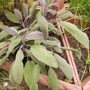 PurpleSage (Salvia Officinalis Purpurescens) 06.08 (Salvia officinalis purpurascens)