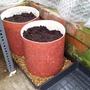 Ring culture tomato pots