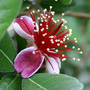 Feijoa_flower_nz