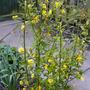 Kerria japonica (Kerria japonica)