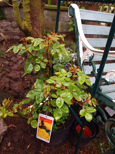 New climbing rose for the arch....Arthur Bell