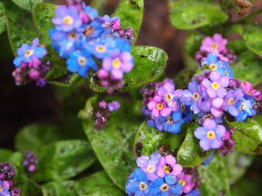 Forget-me-not.....