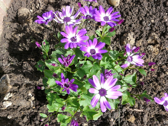 Senetti Violet Bicolour