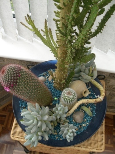 Cacti (Mammilliara backegergiana & Parodia rudibuenekeri)