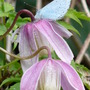 Holly Blue with Clematis alpina Willy (Clematis alpina (Alpina Group clematis))