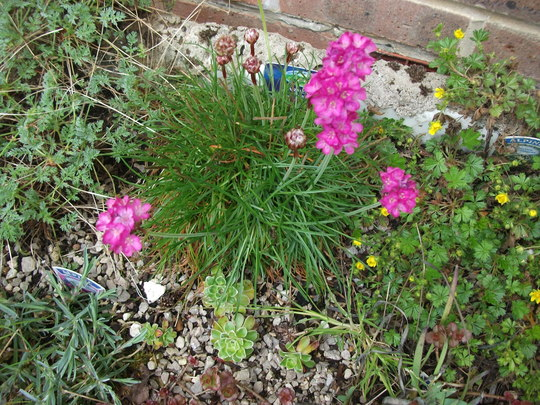 Armeria Rose dwarf sea Thrift  (Armeria Rose)