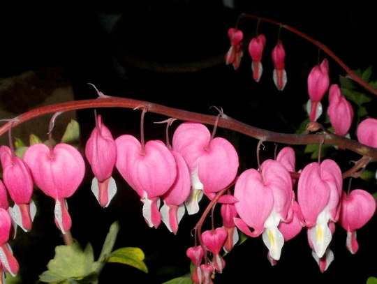 finally doing the biz (Dicentra spectabilis (Bleeding heart))