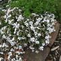 Phlox Sublata Amazing Grace (Phlox subulata (Moss Phlox))