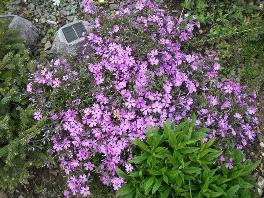 Phlox Sublata Apple Blossom (Phlox subulata (Moss Phlox))