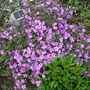 Phlox_sublata_apple_blossom