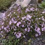 Phlox subulata purple beauty (Phlox subulata (Moss Phlox))