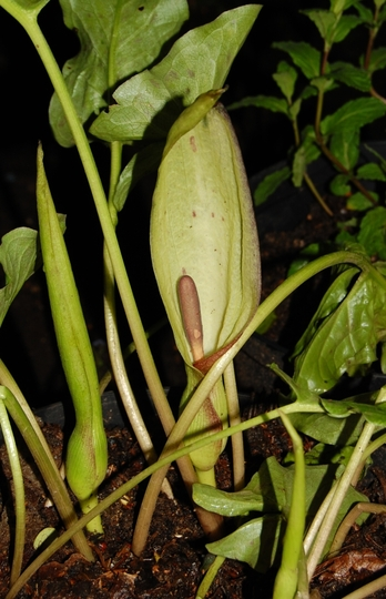 Technically a weed............ (Arum maculatum (Adders Root))
