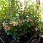 Vaccineum vitis-idaea in flower now.